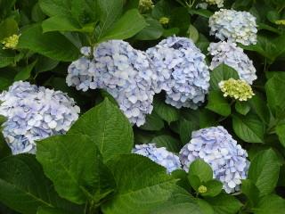 ヒルトン小田原の紫陽花