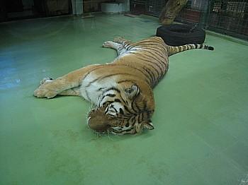 トラも寝てる