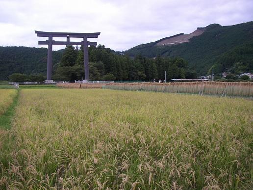 大斎原前の稲