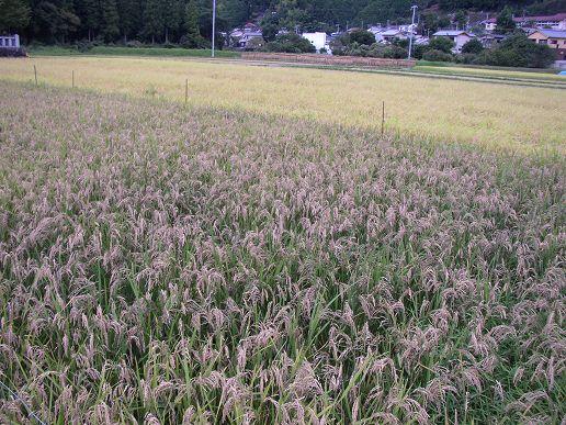 古代米ともち米