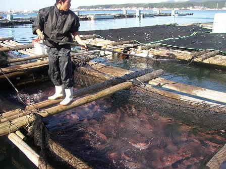 真鯛がいっぱい