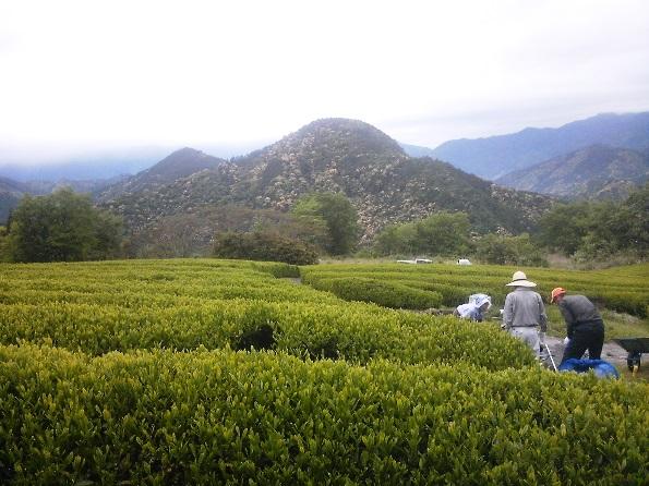 茶刈_熊野番茶