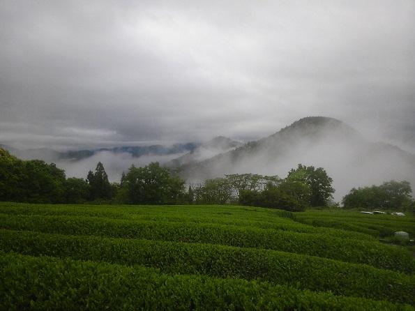雨上がり茶畑