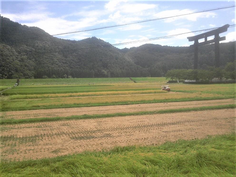 大斎原稲刈り