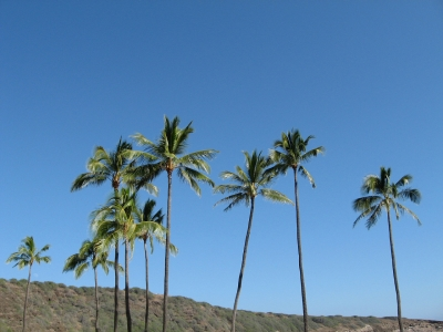 椰子の木 山