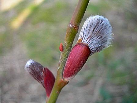 ハカマを脱いで咲く猫柳