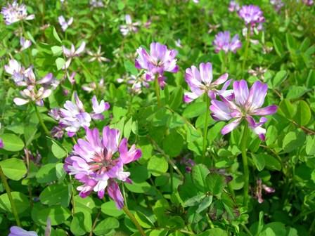 可愛いレンゲの花