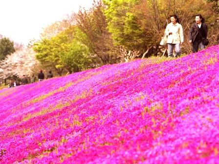 綺麗な芝桜