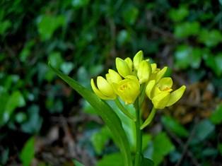 日蔭に咲いた金蘭