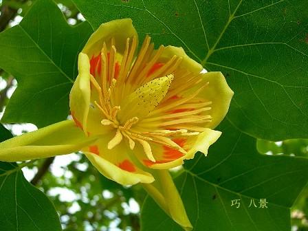 珍しいチューリップポプラの花
