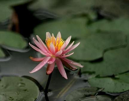 咲いた一輪の睡蓮