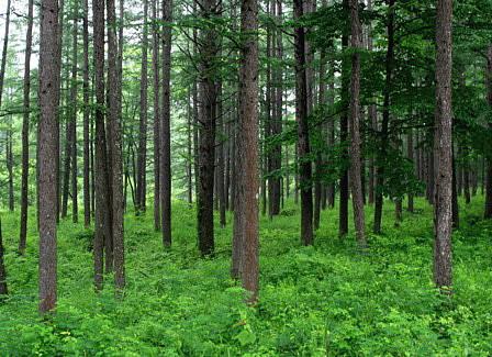雨に濡れたカラマツ林