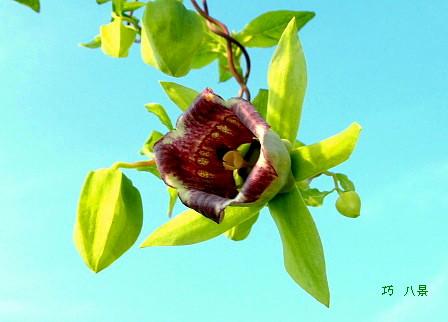 ツルニンジンの花