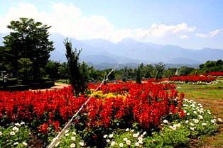 サルビヤの花壇
