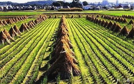 稲田の秋風景