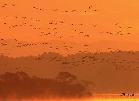 朝焼けに飛び立つガンの群れ
