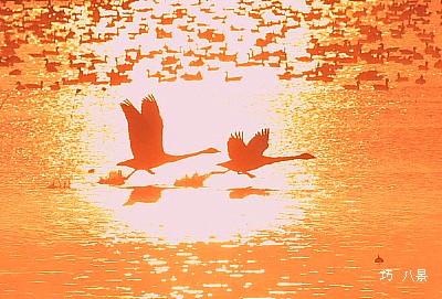 朝日に写り出た白鳥