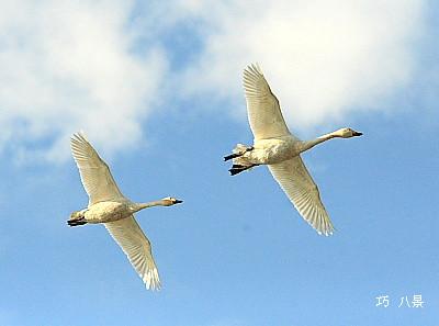 青空を飛ぶ白鳥