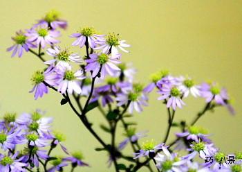 白山菊、香る