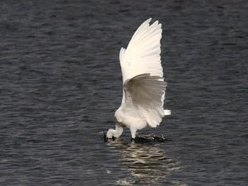 白鷺の捕食