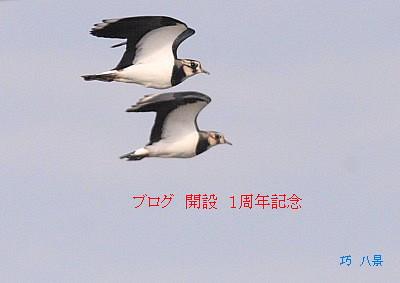 タゲリの飛翔