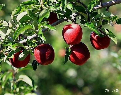 リンゴは紅く紅く・・・