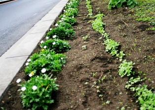 ノースポールと菜の花