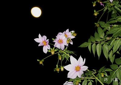 月冴えの夜ダリアの花見