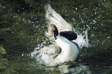 躍動感いっぱいの水鳥