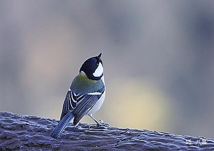 座間市の鳥・シジュウカラ