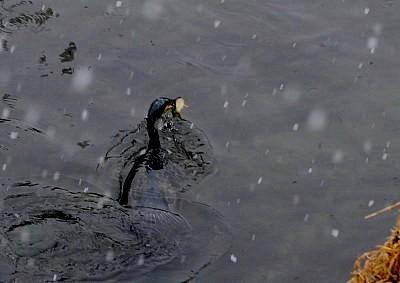 大食いの川鵜