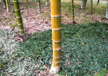 サギのねぐらは竹の秋