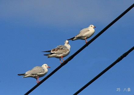 亀島橋の百合鴎