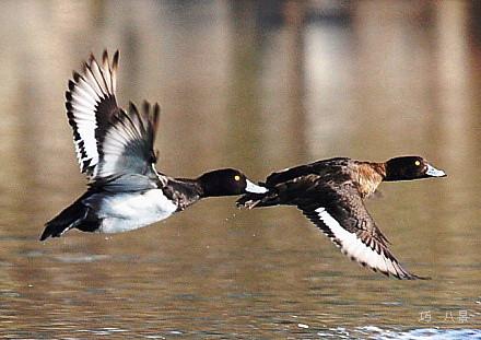 水鳥の飛翔