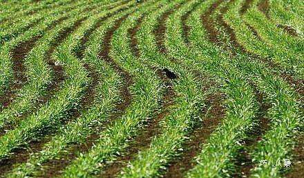 踏まれて成長する麦