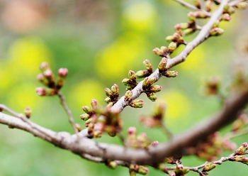 桜並木のつぼみ