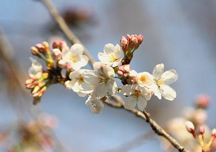 咲いた咲いた桜が咲いた