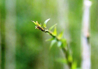 寒竹の芽吹き