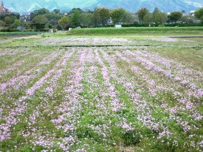 一面蓮華畑