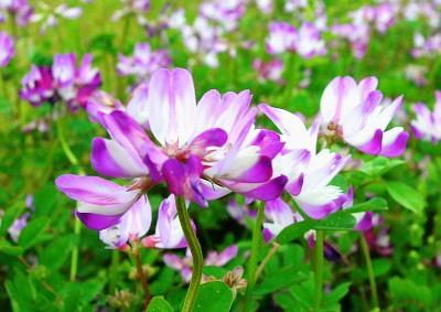 一草の蓮華花