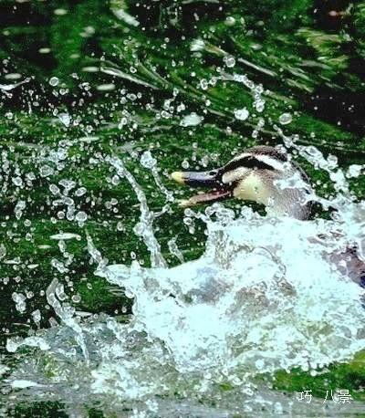 飛沫を上げる水鳥