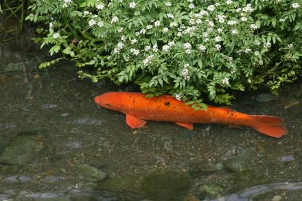 目久尻川の鯉