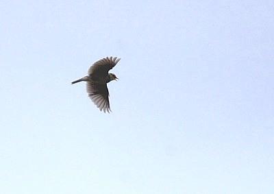 オオヒバリ、上空で囀る