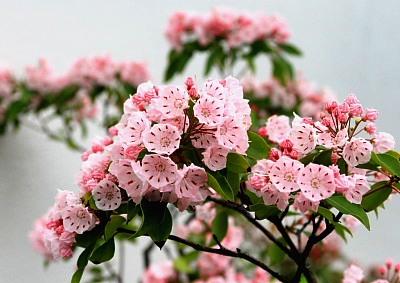 カルミヤの花