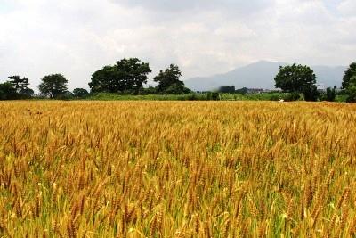 色づいた麦畑