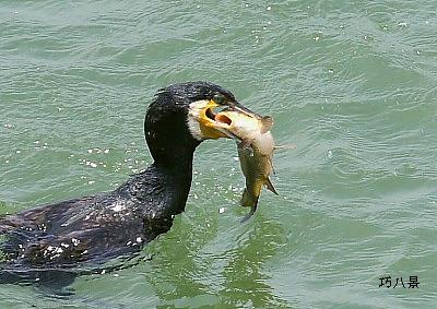 大食いの河鵜
