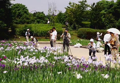つぼみ多い菖蒲園