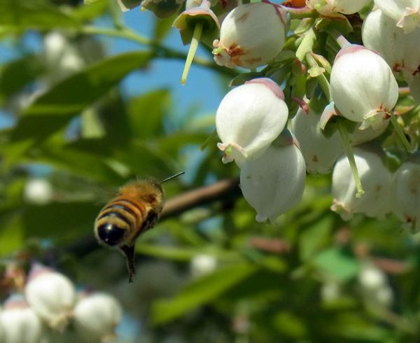 ブルーベリーの花とハチ