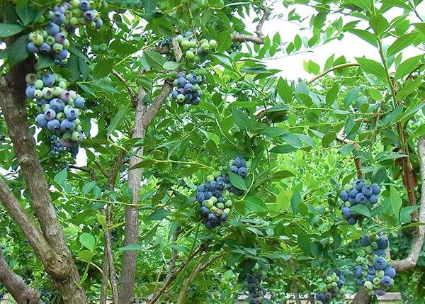 ブルーベリー収穫期