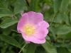 ローズヒップの花